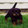 Nimrod as a pup